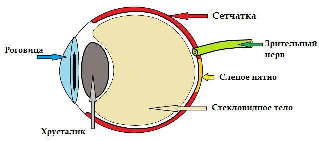Сетчатки обоих глаз